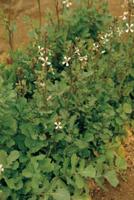 キバナスズシロ(ロケット、ルッコラ)の花