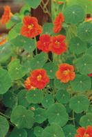 キンレンカ(ナスタチウム)の花