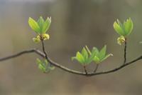 クロモジの新芽と花