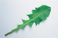 タンポポの仲間の葉