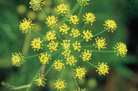 ウイキョウ(フェンネル)の花