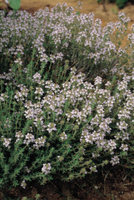 コモンタイム(タチジャコウソウ)の花 32089000518| 写真素材・ストックフォト・画像・イラスト素材|アマナイメージズ