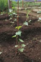 ヘチマの生長:つるが支柱に巻き付く