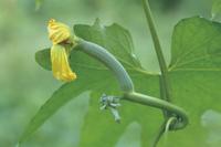 ヘチマの生長:若い実とつぼみ 32089000546| 写真素材・ストックフォト・画像・イラスト素材|アマナイメージズ