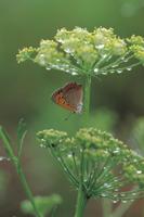パセリの花の下で雨宿りするベニシジミ