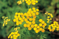 タンジー(エゾヨモギギク)の花
