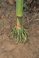 トウモロコシの支柱根