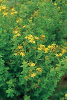 セイヨウオトギリソウ(セントジョワンズワート)の花
