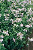 ソープワート(サポンソウ、シャポンソウ)の花