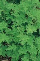 ローズゼラニウム(ニオイテンジクアオイ) 32089000656| 写真素材・ストックフォト・画像・イラスト素材|アマナイメージズ