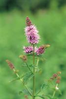 ペパーミント(セイヨウハッカ)の花 32089000694| 写真素材・ストックフォト・画像・イラスト素材|アマナイメージズ