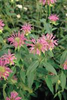 ベルガモット(タイマツバナ)の花