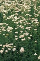 セイヨウノコギリソウ(コモンヤロウ)の花群生