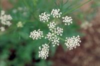 ヒメウイキョウ(キャラウェイ)の花