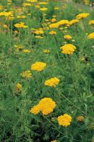 キバナノコギリソウ(イエローヤロウ)花