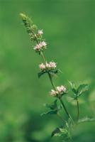 イングリッシュミントの花