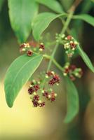 ビャクダン(サンダルウッド)の花 32089000806| 写真素材・ストックフォト・画像・イラスト素材|アマナイメージズ