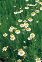 ローマンカモマイル(ローマカミツレ)の花