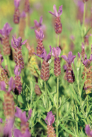 ストエカスラベンダー 'ピッパ'の花