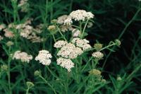 セイヨウノコギリソウ(コモンヤロウ)の花