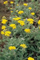 ヒメノコギリソウ(ウーリーヤロウ)の花