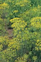 ディル(メイノンド)の花