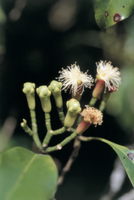 チョウジノキ(クローブ)の花