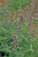 セージ(コモンセージ、ヤクヨウサルビア)の花