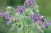 ボリジ(ルリヂシャ)の花