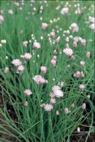 チャイブ(セイヨウアサツキ)の花