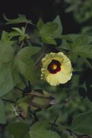 ワタの花 32089000907| 写真素材・ストックフォト・画像・イラスト素材|アマナイメージズ