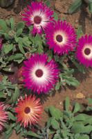 リビングストン・デージーの花