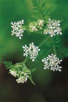 チャービル(セルフィーユ)の花