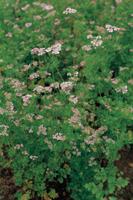コリアンダー(コエンドロ)の花