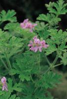 ローズゼラニウム(ニオイテンジクアオイ)の花