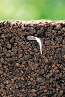 ミニヒマワリの成長連続 A-3 根が伸びる