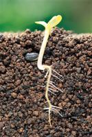 ミニヒマワリの成長連続 A-6 双葉(子葉)が開き始める