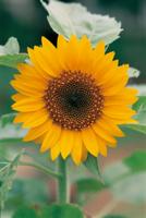 ミニヒマワリの開花