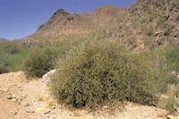 ソノラ砂漠に自生するホホバ 32089001030| 写真素材・ストックフォト・画像・イラスト素材|アマナイメージズ