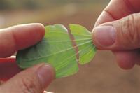 オオバコの葉の維管束 32089001070| 写真素材・ストックフォト・画像・イラスト素材|アマナイメージズ