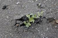 アスファルトから芽を出すヨモギ