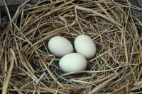 チャボの卵