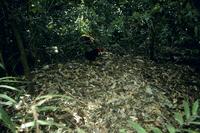 ヤブツカツクリのオス 塚(マウンド) を守る 32089001689| 写真素材・ストックフォト・画像・イラスト素材|アマナイメージズ