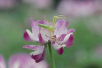 ワカバグモ レンゲ草の花で獲物を待つ