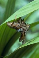 アブラゼミ 羽化に失敗しアリに食べられる