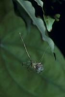 オナガグモ ワカバグモを捕えた