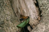 オオハキリバチ 切った葉を巣に運ぶ