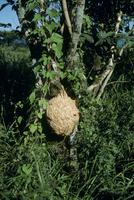 キイロスズメバチ 巣
