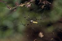 ジョロウグモのメス(大)にプロポーズ中のオス(小)