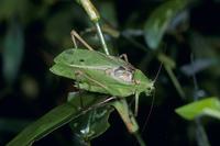 鳴くクツワムシ 緑色型オス